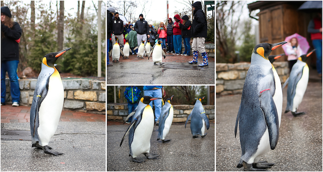 Penguin Parade collage